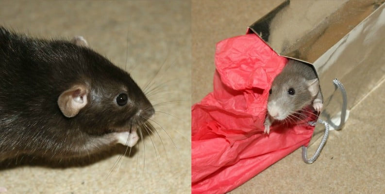 James and Nibbles the rats