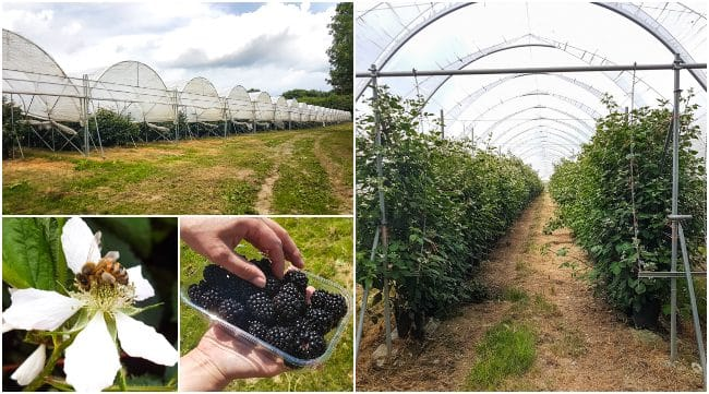 Collage showing blackberries being grown in the polytunnels at Clock House Farm in Kent