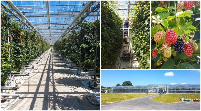Collage showing blackberries being grown in the glasshouse at Clock House Farm