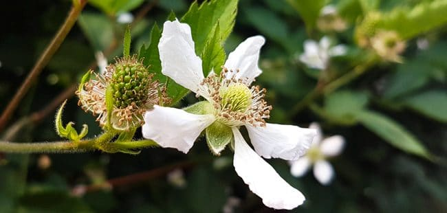 Blackberries growing from the centre of a blackberry flower