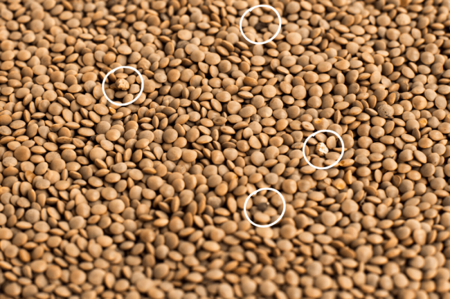 A sea of brown lentils with seed pods and stones circled, to show the importance of picking over lentils.